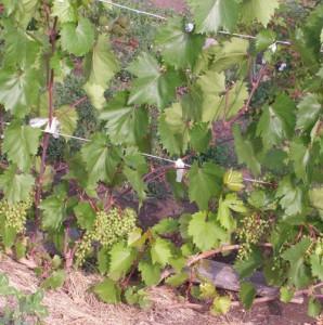 шпалера для винограда из проволоки